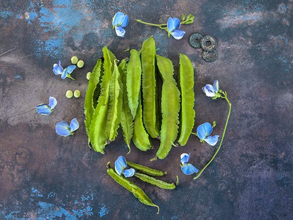 Winged Bean, Urizun Japanese