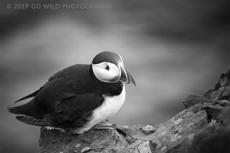 Atlantic Puffin Black and White - Go Wild Photography [description]  [price]
