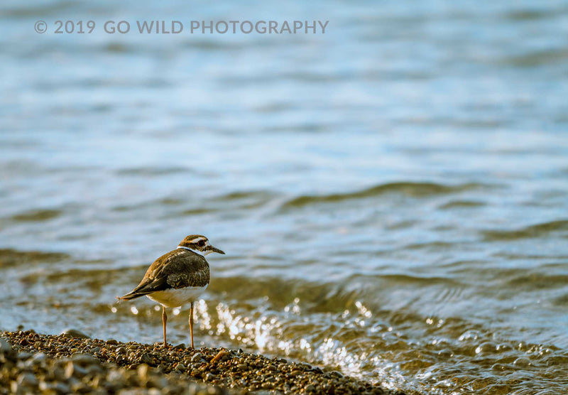 Sand Piper - Go Wild Photography [description]  [price]