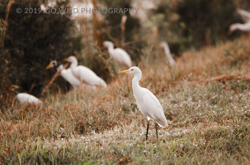 Winter Egret - Go Wild Photography [description]  [price]