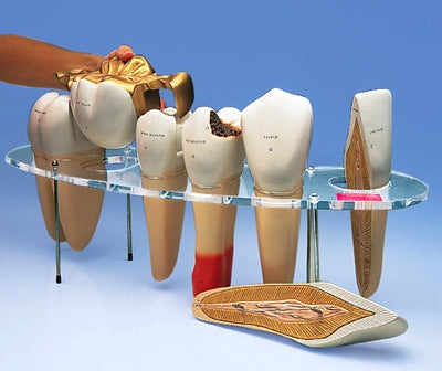 Dental Morphology All Human Tooth Type Models