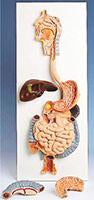 Digestive Models Simulators