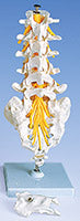 Cervical Lumbar Thoracic Models