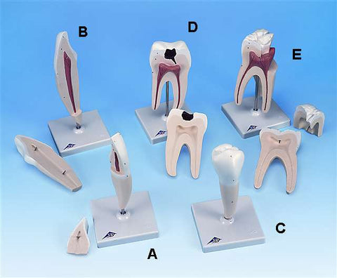 5 Types Dentition Structure