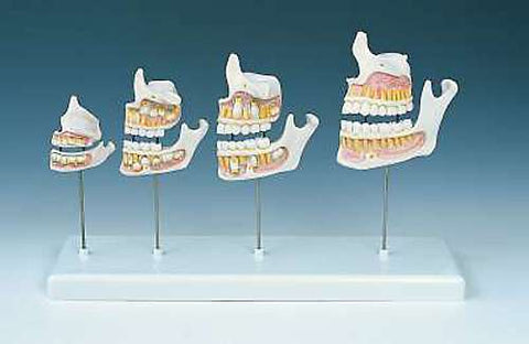 Dentition Development