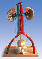 Urinary System Kidneys