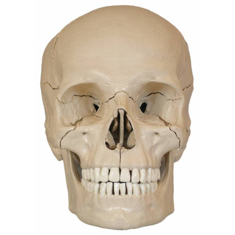 Anatomical skull model 18 parts