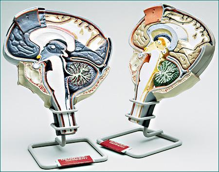 Brain Section Neurological, 2-Sided View, Prefessional 2 Models Set