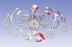 disarticulated skeleton anatomical model
