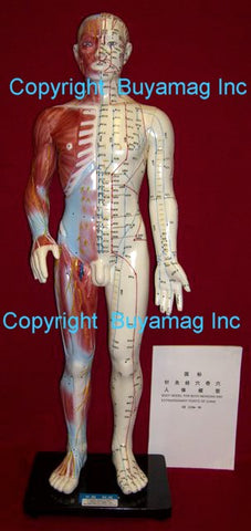 "Acupuncture Points Meridians Skeletal Structure Model 25"" Deluxe"