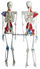 skeleton model with muscles
