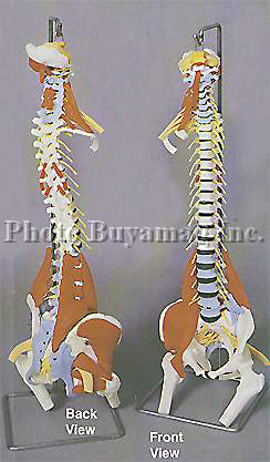 "Spine ""F"" 35"" Deluxe Life-sized Adult Spine With Muscles Model"
