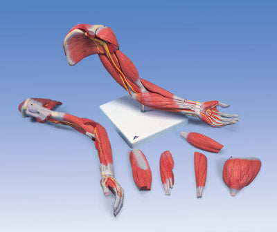 anatomical arm muscle model