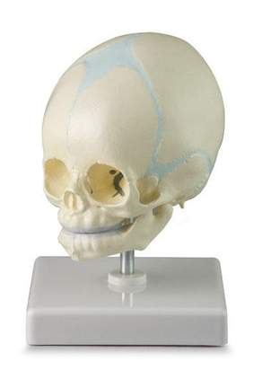 Baby Fetal Skull Scientific Model