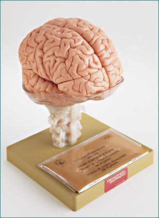Brain With Ventricles 14 Part Model