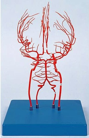 Brain Arteries Model