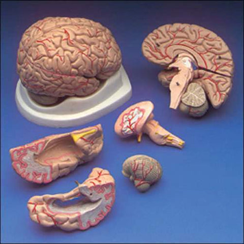 Brain Human Model With Arteries 8 Parts