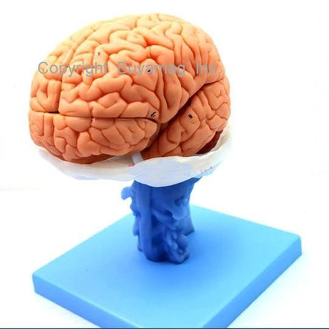 brain anatomical model