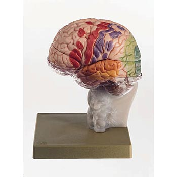 Brain With Cortical Functional Centers Model 15 Part
