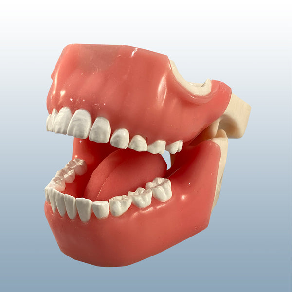 child-dental-x-ray-model