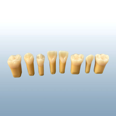 composit teeth models hard enamel foft dentin
