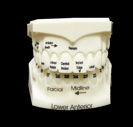 Teeth Numbers Names Educational Model