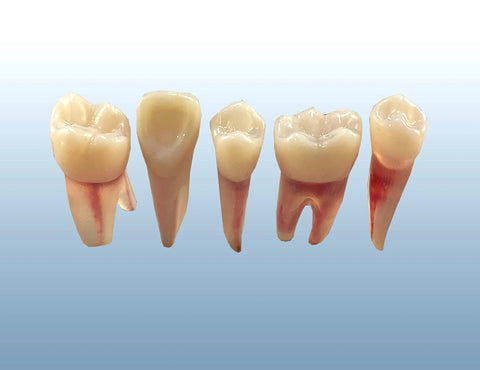 dental endodontic practice teeth