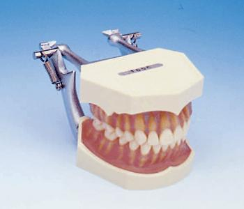 Transparent Gingivae 28 Anatomical Removable Teeth Model