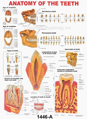 Dental Poster Teeth Type Anatomy Structure Location
