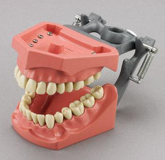 dental model dentoform