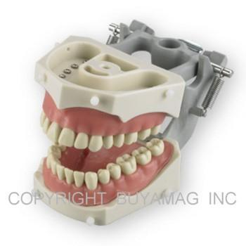 Dental Techniques Training Removable 32 Soft Gingivae  Model