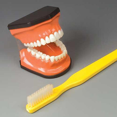 Dental Flossing & Brushing Model Deluxe $ Brush