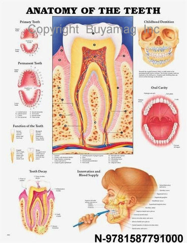 Dental Teeth Anatomy Poster