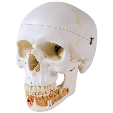 Dental Classic Skull With Opened Mandible 3 Part