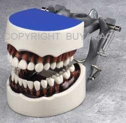 Dental Hygiene Typodont Model