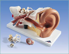 Ear 3 Times Life-Size Model  4 Part