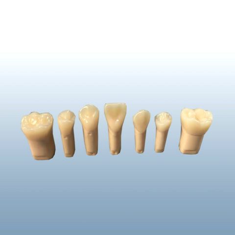 endodontic teeth composit resin anatomical-pulp