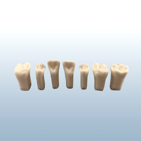 dental permanent endodontic teeth with pulp