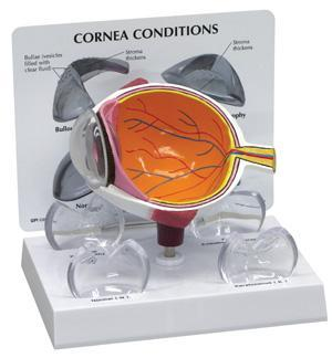 Cornea Eye Cross Section Model