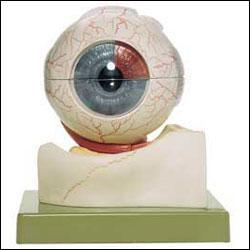 Eyeball 5-Times Life-Size 7 Parts Deluxe