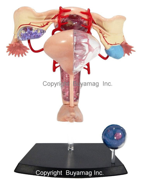 Female Reproductive Organs Model