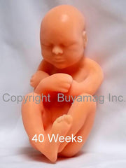 Optional  16 Weeks  Fetus Model