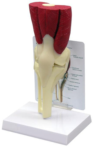 Muscled Knee Joint Model