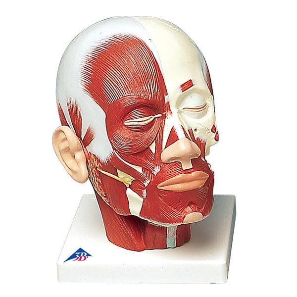Head With Musclulature Model