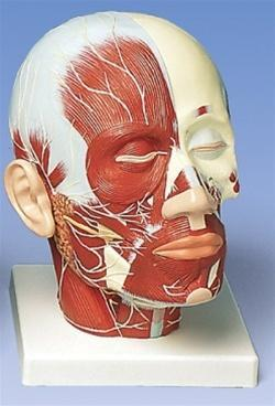 Head With Model Parotid Gland