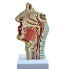 Head Dissected Nose Throat Mouth Larynx Model