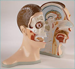 Head Bisected 5-Part: Brain, Nose, Mouth, Throat 2 Parts