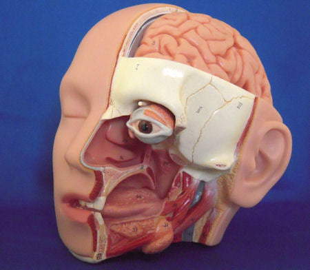 Dental Didactic Academy Head Model