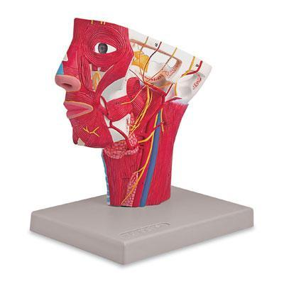 Head With Arteries Model