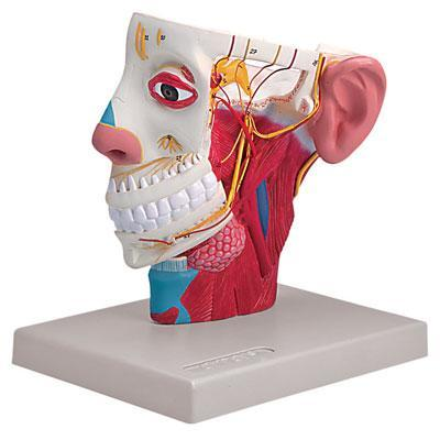 Head With Nerves Model